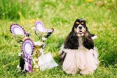 American Cocker Spaniel Dog Sitting On Green Grass Next To Three. Cups Of Won At The Dog Show. Sunny Summer Day. Winner Of Dog Show royalty free stock images
