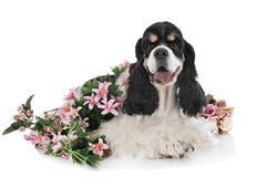 American cocker spaniel. In front of white background stock image