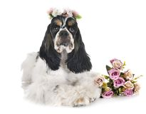 American cocker spaniel. In front of white background stock photography