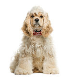 American cocker spaniel Stock Photo