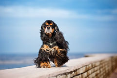 American cocker spaniel goes in the sky Stock Image