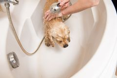 Dog at grooming salon having bath. American cocker spaniel at grooming salon having bath stock photography
