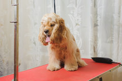 American Cocker Spaniel  on grooming table. Young purebred Cocker Spaniel on red grooming table before a hairstyle in the room Stock Images
