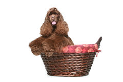 American cocker spaniel in large wicker basket Stock Images