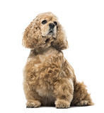 American Cocker Spaniel looking away, isolated on white Royalty Free Stock Photography