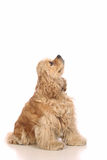 American Cocker Spaniel looking up. Isolated on white background Stock Image