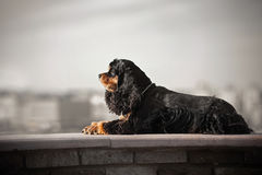 American cocker spaniel lying. On city background Stock Images
