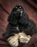 American cocker spaniel. A nicely groomed american cocker spaniel,with nice long curly hair. the dog is black with white feet with two tan spot on top of each stock images