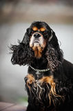 American cocker spaniel portrait Royalty Free Stock Photos