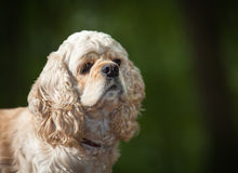 American cocker spaniel. Portrait of american cocker spaniel on blurred nature background Royalty Free Stock Images