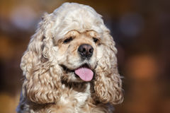 American cocker spaniel. Portrait of american cocker spaniel on blurred nature background Royalty Free Stock Image