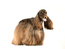 American cocker spaniel portrait. On white background Royalty Free Stock Images
