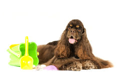 American cocker spaniel portrait. On white background with sea stuff Stock Images