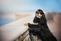 American cocker spaniel posing Stock Images