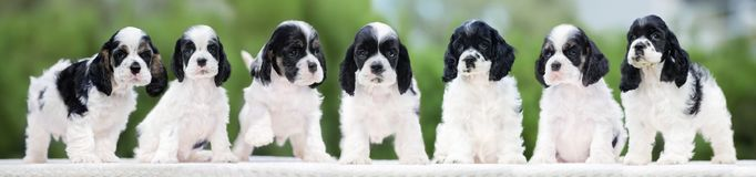 Group of seven cocker spaniel puppies posing outdoors Stock Photography