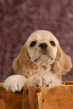 American cocker spaniel puppy. With in a wooden box stock image