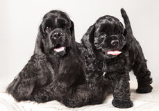American Cocker Spaniel puppy. And his mother royalty free stock photos