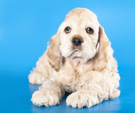 American Cocker Spaniel puppy Stock Photography