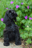 American cocker spaniel puppy. Nine week old american cocker spaniel puppy sitting among flowers - champion bloodlines Royalty Free Stock Photos