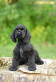 American cocker spaniel puppy. 9 week old American cocker spaniel puppy - champion bloodlines Royalty Free Stock Image