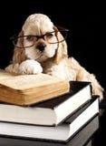 American Cocker Spaniel  puppy Stock Photo