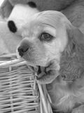 American Cocker Spaniel puppy chewing. On basket royalty free stock images