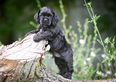 American cocker spaniel puppy Royalty Free Stock Photography