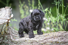 American cocker spaniel puppy Royalty Free Stock Images
