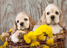 American Cocker Spaniel  puppy and flowers Royalty Free Stock Photos