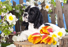 American cocker spaniel puppy Stock Photos