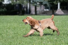 American cocker spaniel puppy outdoor Stock Photography