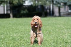 American cocker spaniel puppy outdoor Stock Image