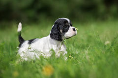 Free American Cocker Spaniel Puppy Outdoors Royalty Free Stock Photos - 75641538