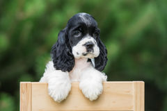American cocker spaniel puppy outdoors. In summer Royalty Free Stock Photo
