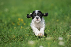 American cocker spaniel puppy outdoors. In summer Stock Photography