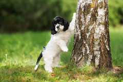 American cocker spaniel puppy outdoors. In summer royalty free stock image