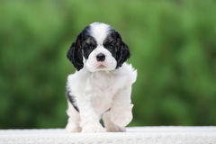 American cocker spaniel puppy outdoors. In summer Stock Images