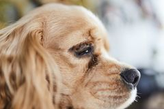 American Cocker Spaniel puppy side royalty free stock photography