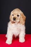 American cocker spaniel puppy Stock Photos