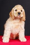 American cocker spaniel puppy Royalty Free Stock Image