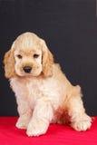 American cocker spaniel puppy Stock Photography