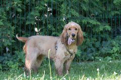 American cocker spaniel puppy outdoor Royalty Free Stock Image