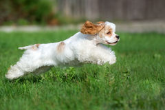 American cocker spaniel running outdoors Royalty Free Stock Photo