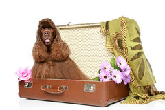 American cocker spaniel sits in suitcase Royalty Free Stock Image