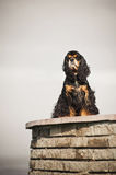 American cocker spaniel sitting Royalty Free Stock Photos