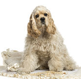 American cocker spaniel sitting, isolated Stock Image