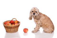 American cocker spaniel sitting near a basket with apples Royalty Free Stock Photography