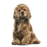 American cocker spaniel sitting, 6 years, isolated Stock Photography