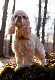 American cocker spaniel standing on a log Stock Photography