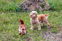 American Cocker Spaniel standing near chicken on the green grass royalty free stock photography